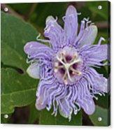 Purple Passionflower #2 Acrylic Print