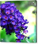 Purple Peace Acrylic Print