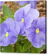 Purple Petunia  Acrylic Print