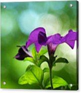 Purple Petunia On A Cool Spring Day Acrylic Print