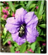 Purple Petunia With A Bee Acrylic Print
