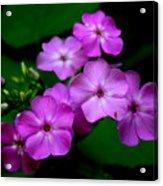 Purple Phlox By Earl's Photography Acrylic Print