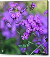 Purple Phlox Acrylic Print