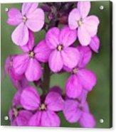 Purple Pink Flower.... Acrylic Print