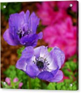 Purple Poppies Acrylic Print