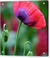 Purple Poppy Flower Acrylic Print