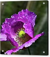 Purple Poppy Acrylic Print