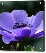 Purple Poppy Mona Lisa Acrylic Print
