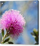 Purple Puff Acrylic Print