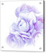 Purple Ranunculus Acrylic Print
