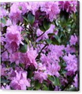 Purple Rhododendrons Acrylic Print