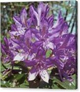 Purple Rhody Acrylic Print