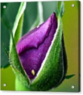 Purple Rose Bud Acrylic Print