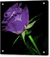 Purple Rose Acrylic Print