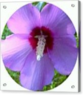 Purple Rose Of Sharon In Circle Frame Acrylic Print