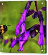 Purple Salvia 002 Acrylic Print