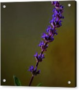 Purple Salvia Flower Acrylic Print