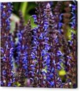Purple Salvia Sage Acrylic Print