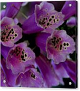 Purple Silk Acrylic Print