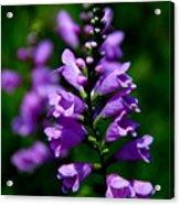 Purple Skullcap Bloom Acrylic Print