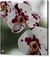 Purple Splash Orchid 2 Acrylic Print
