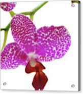Purple Spotted Orchid On White Acrylic Print
