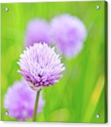 Purple Spring 11 Acrylic Print
