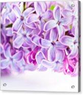 Purple Spring Lilac Flowers Blooming Acrylic Print