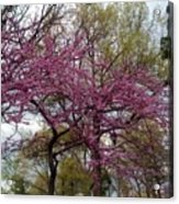 Purple Spring Trees Acrylic Print