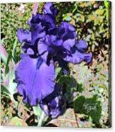 Purple Springtime Iris  Acrylic Print