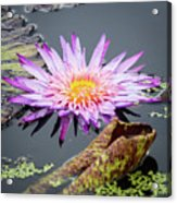 Purple Star Water Lily Acrylic Print