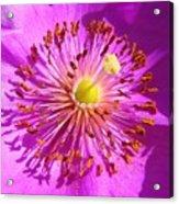 Purple Starburst Acrylic Print