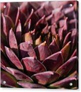 Purple Succulent Acrylic Print
