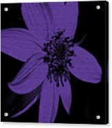 Purple Sunflower Acrylic Print