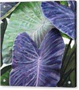 Purple Taro Acrylic Print