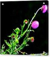 Purple Thorn Acrylic Print
