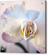 Purple Tipped Orchid Acrylic Print