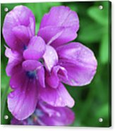 Purple Tulip Blossom With Dew Drops On The Petals Acrylic Print