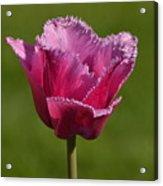Purple Tulip Acrylic Print