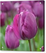 Purple Tulip With Water Drops Acrylic Print