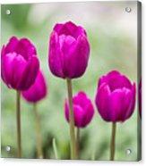 Purple Tulips 1 Acrylic Print
