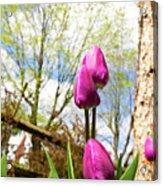 Purple Tulips Acrylic Print