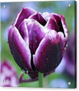 Purple Tulips With Dew Drops On The Outside Of The Petals Acrylic Print