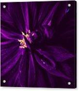 Purple Velvet Acrylic Print