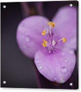Purple Wandering Jew Acrylic Print