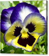 Purple White And Yellow Pansy Acrylic Print