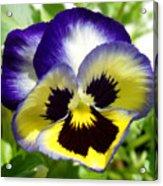 Purple White And Yellow Pansy Acrylic Print