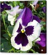 Purple White Pansy Acrylic Print
