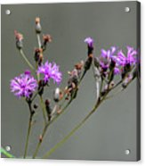 Purple Wildflower In Shiloh National Military Park, Tennessee Acrylic Print