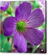 Purple Wildflowers Macro 1 Acrylic Print